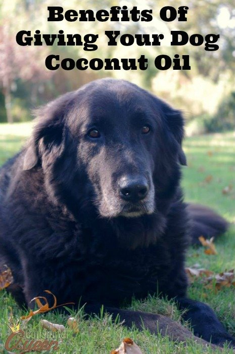 Benefits Of Giving Your Dog Coconut Oil