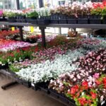 1-Pint Annual Flowers Only $1.00 Each at Lowes