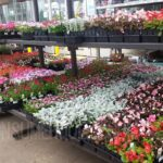 1-Pint Annual Flowers For ONLY $1.00 at Lowes!
