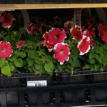 12-pk Annual Flowers Only $7.88 During Home Depot Spring Black Friday