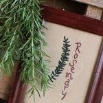 Starting Your Spring Garden Series- Week 3: Growing Rosemary
