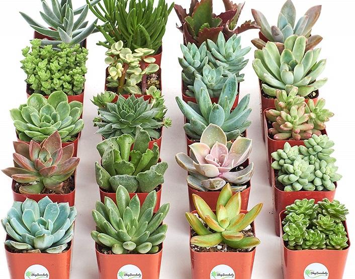 shop succulents collection amazon