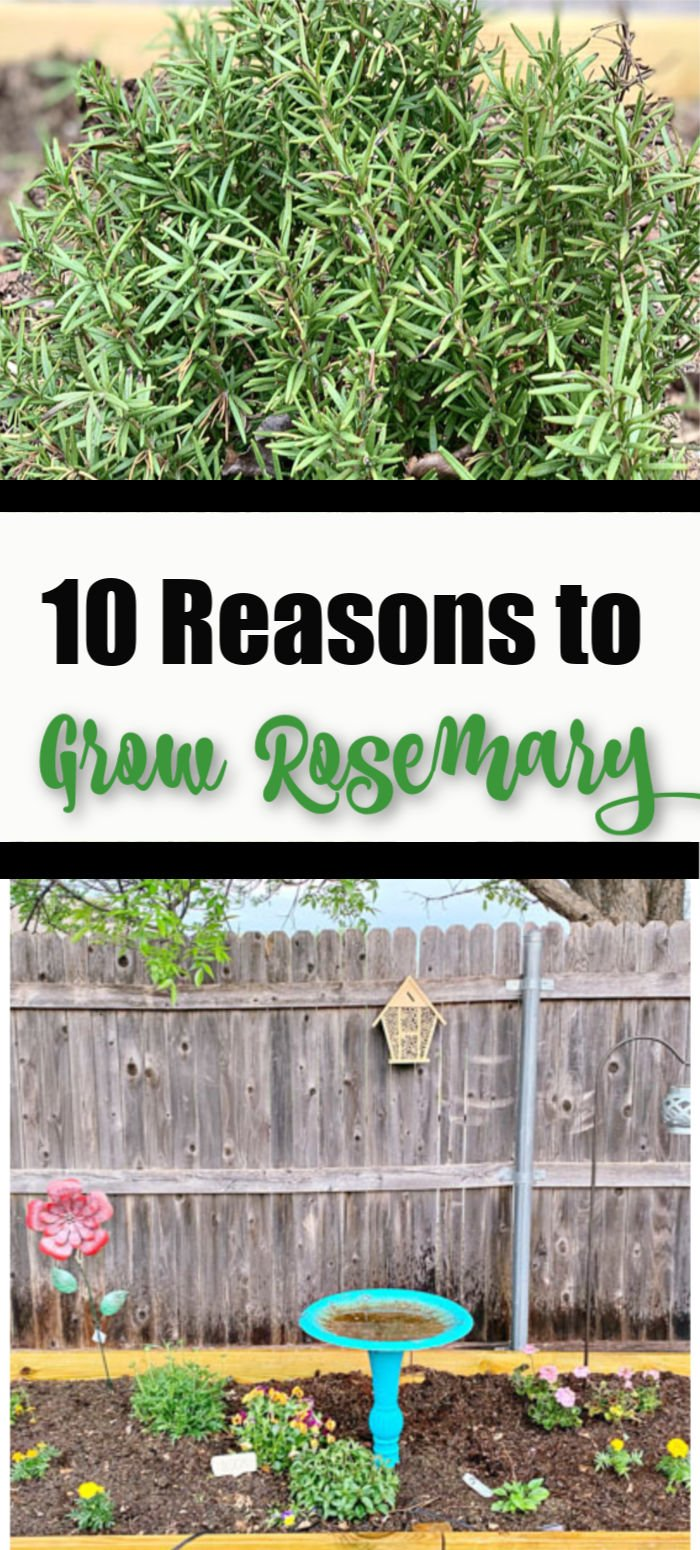 10 Reasons to Grow Rosemary