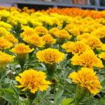 Companion Planting - Marigolds