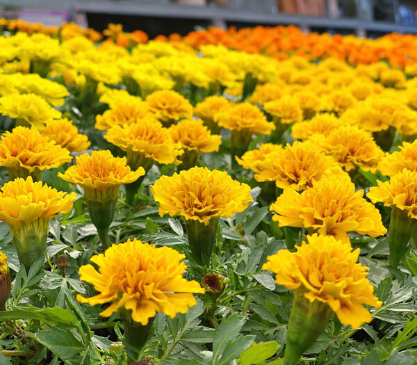 Why Marigolds are Important for Your Vegetable Garden