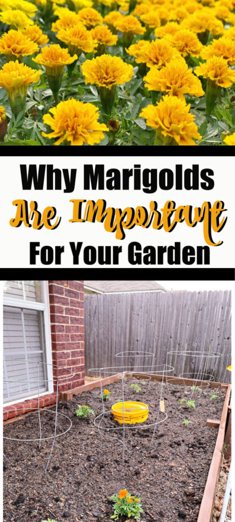 Why Marigolds Are Important To Your Garden