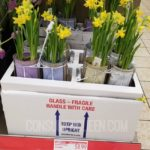 double potted daffodils at aldi