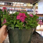 hanging flower baskets at aldi