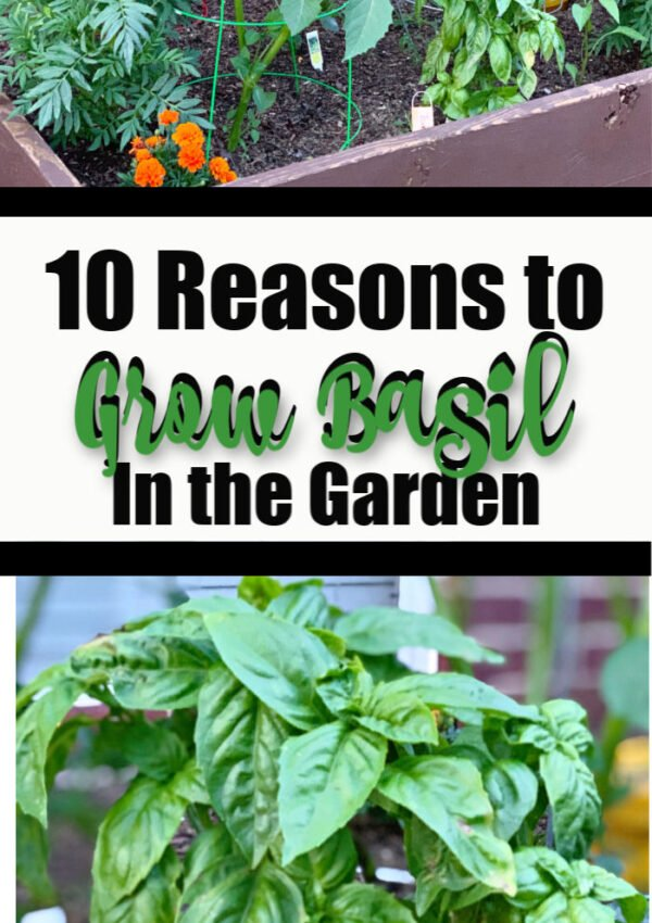 See 10 Reasons to Grow Basil In The Garden!