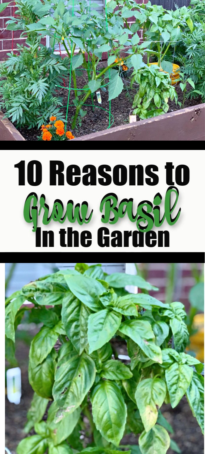 10 Reasons to Grow Basil