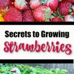 Secrets to Growing Strawberries