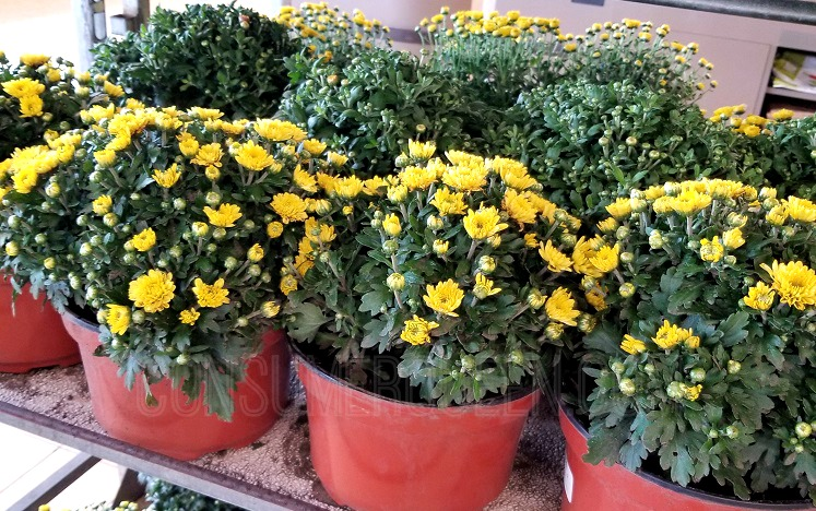 3 Quart Mums (Select) Only $4 at Lowes!