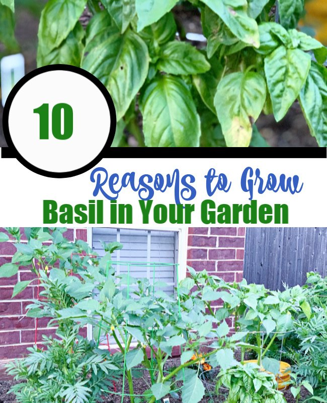 10 Reasons to Grow Basil