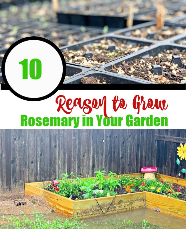 10 reasons to grow rosemary