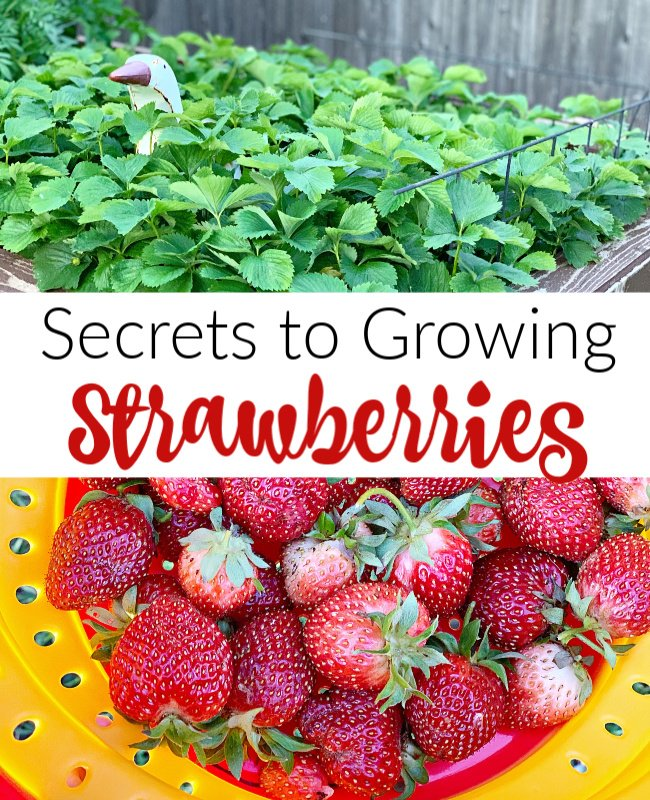 Secrets to Growing Strawberries