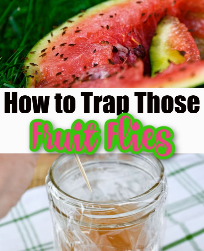 Trap Fruit Flies