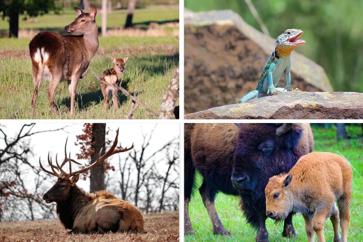 Woolaroc Wildlife Preserve Offering FREE Drive-Thru Visits!