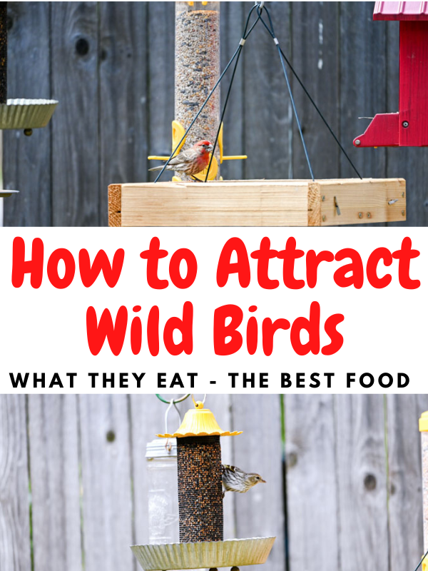 How to Attract Wild Birds – What Do Birds Eat