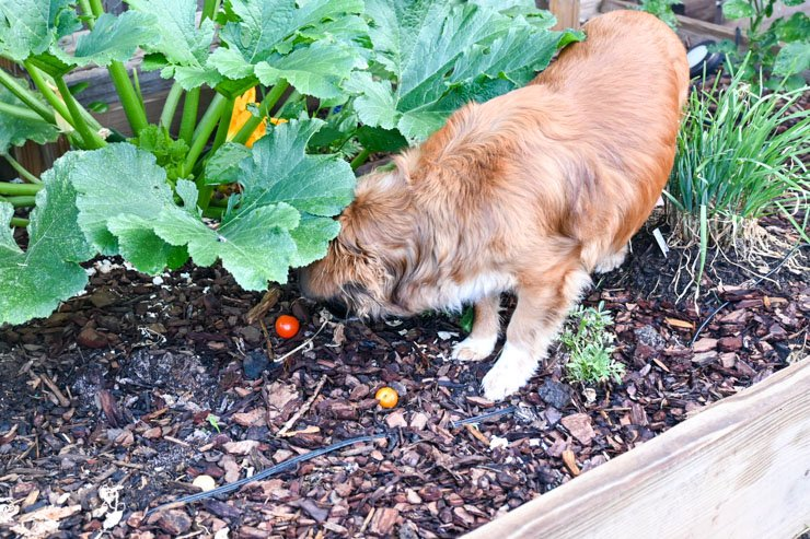 How to Keep Your Dog Out of Your Garden- Dog sniffing out tomato plants