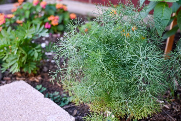 Dill Weed in Garden