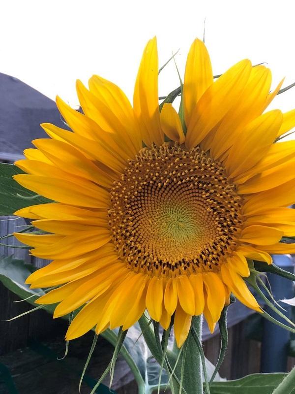 Sunflower - How to Deadhead Flowers Tips