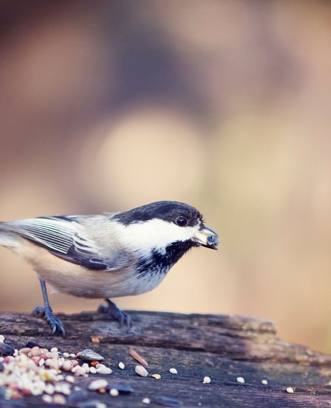 Bird eating Seed