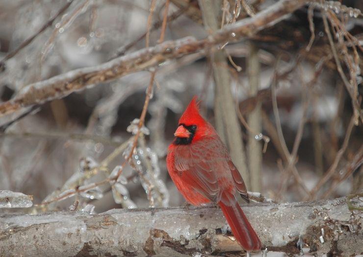 Winter Cardinal Bird