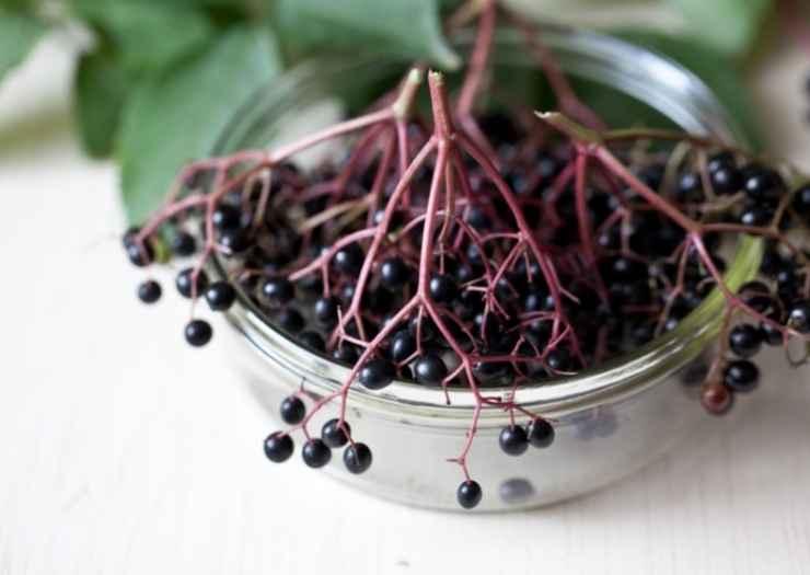 Harvest Elderberry